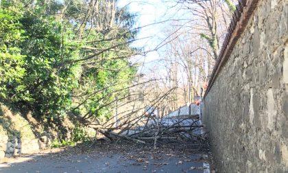 Merate, forte vento: pianta sradicata si abbatte sulla strada FOTO