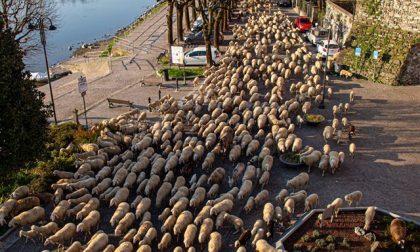 Gregge di pecore invade il lungofiume