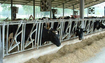 Como-Lecco, temperature ancora sopra i 30°, meno latte e contromisure nelle stalle