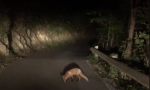 Incontro ravvicinato tra volpe e sindaco VIDEO
