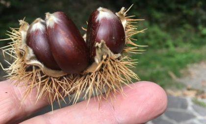 Raccogliere castagne nei boschi del Meratese può costare carissimo: ecco perché