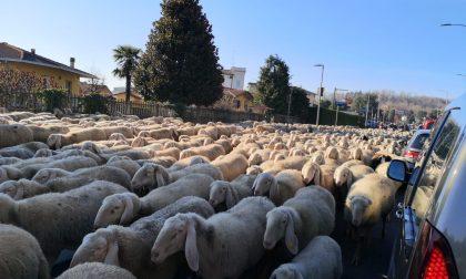 Pecore tra le auto sulla Provinciale FOTO