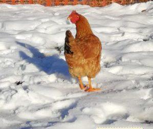 Ogni settimana razzola per il mercato, la gallina Cocca spopola sui social