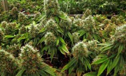 Il suo sogno va... in fumo: aveva una serra di marijuana in camera da letto, arrestato