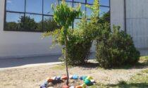 Cernusco: un ciliegio per ricordare il piccolo Gioele