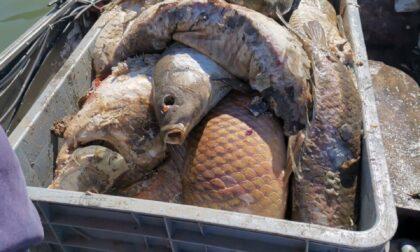 Maxi moria di pesci nell'Adda, 900kg di carpe recuperate dai pescatori di Brivio FOTO