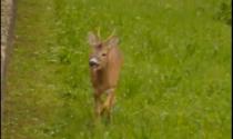 Avvistato un cerbiatto nel giardino dell'asilo VIDEO