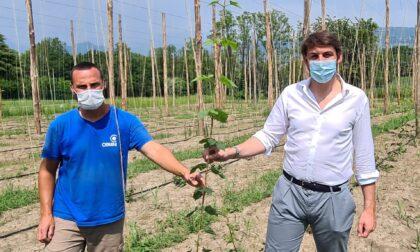 A Barzago una start-up di coltivazione del Luppolo