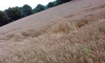 Cerchi nel grano: mistero in Brianza
