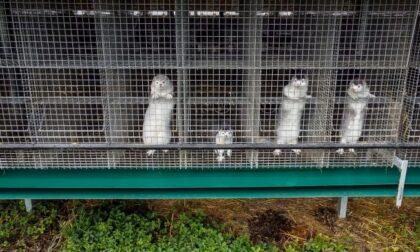 """Focolaio Sars-CoV2 in un allevamento di visoni, Brambilla: """"Chiuderli e non riaprirli mai più"""""""