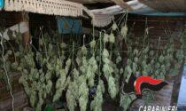 Serra di marijuana nascosta sulle rive del fiume, arrestato un 40enne