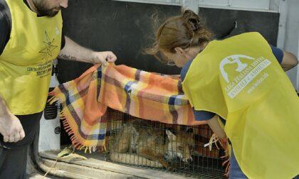 Il video della spettacolare liberazione della volpe Robin Hood, salvata dai volontari del Cras